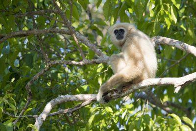 White-handed Gibbon - Male (Hylobates lar)