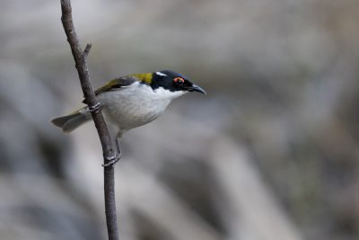 White-naped Honeyeater (Melithreptus lunatus)2