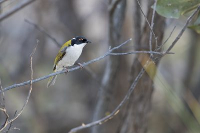 White-naped Honeyeater (Melithreptus lunatus)3