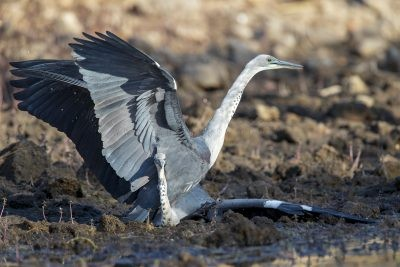 White-necked Heron - Fight (Ardea pacifica)