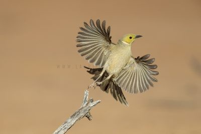 White-plumed Honeyeater - Take Off (Ptilotula penicillata leilavalensis)