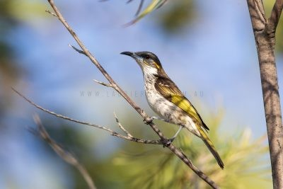 White-streaked Honeyeater (Trichodere cockerelli)