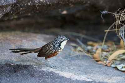 White-throated Grasswren - Female (Amytornis woodwardi).6