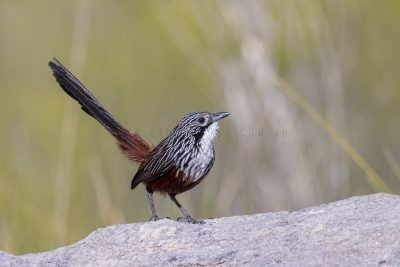 White-throated Grasswren - Female (Amytornis woodwardi)1