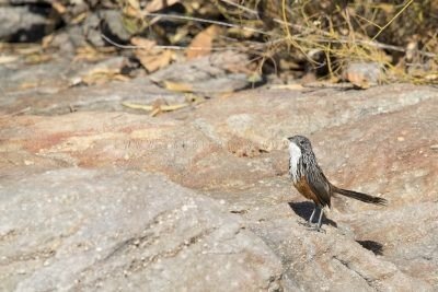 White-throated Grasswren - Female (Amytornis woodwardi)3