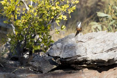White-throated Grasswren - Female (Amytornis woodwardi)5