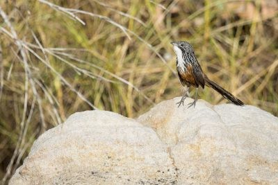 White-throated Grasswren - Female (Amytornis woodwardi)6