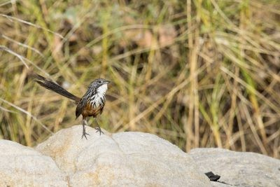 White-throated Grasswren - Female (Amytornis woodwardi)7