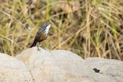 White-throated Grasswren - Female (Amytornis woodwardi)8