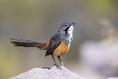 White-throated Grasswren - Male (Amytornis Woodwardi)1