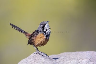 White-throated Grasswren - Male (Amytornis Woodwardi)10