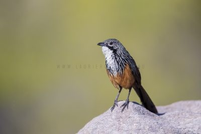 White-throated Grasswren - Male (Amytornis Woodwardi)11