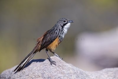 White-throated Grasswren - Male (Amytornis Woodwardi)12