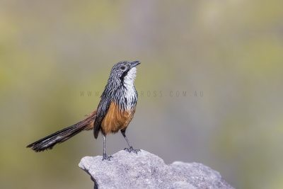 White-throated Grasswren - Male (Amytornis Woodwardi)13