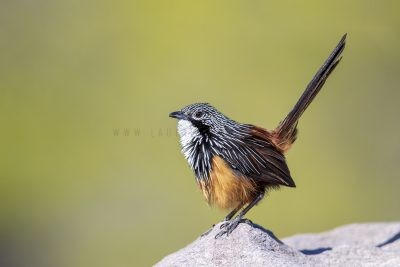 White-throated Grasswren - Male (Amytornis Woodwardi)2