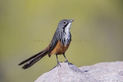 White-throated Grasswren - Male (Amytornis Woodwardi)3