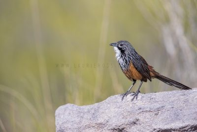 White-throated Grasswren - Male (Amytornis Woodwardi)4