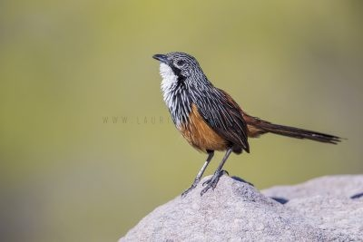 White-throated Grasswren - Male (Amytornis Woodwardi)5