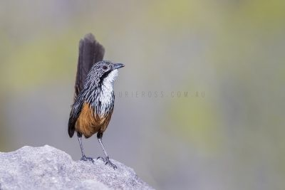White-throated Grasswren - Male (Amytornis Woodwardi)6