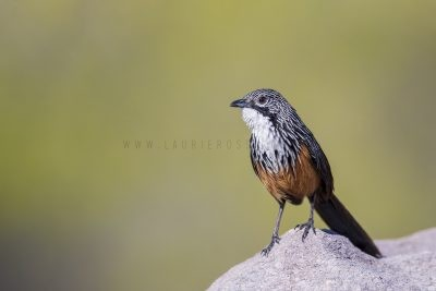 White-throated Grasswren - Male (Amytornis Woodwardi)7