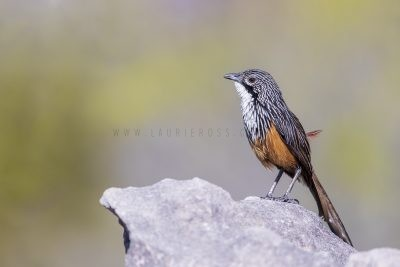 White-throated Grasswren - Male (Amytornis Woodwardi)8
