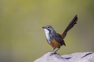 White-throated Grasswren - Male (Amytornis Woodwardi)9