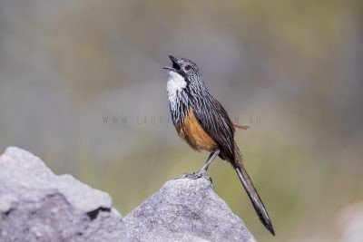 White-throated Grasswren - Male Calling (Amytornis Woodwardi)