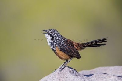 White-throated Grasswren - Male Calling (Amytornis Woodwardi)1