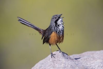 White-throated Grasswren - Male Singing (Amytornis Woodwardi)