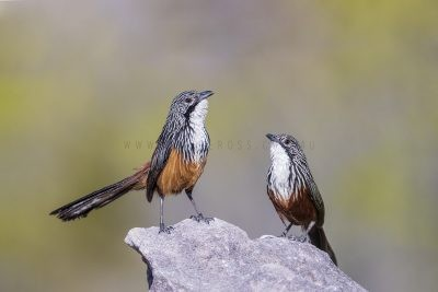 White-throated Grasswren - Pair.