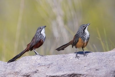 White-throated Grasswren - Pair (Amytornis Woodwardi)2