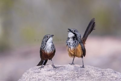 White-throated Grasswren - Pair (Amytornis Woodwardi)3