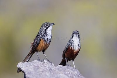 White-throated Grasswren - Pair (Amytornis Woodwardi)4