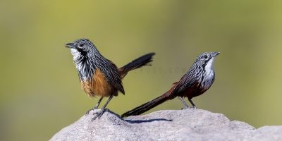 White-throated Grasswren - Pair (Amytornis Woodwardi)5