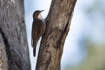 White-throated Treecreeper (Cormobates Leucophaea Metastasis) - Capertee Valley, NSW