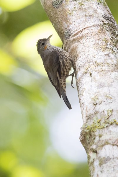 White-throated Treecreeper (Cormobates leucophaea minor)
