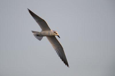 Gull-billed Tern (Gelochelidon nilotica macrotarsa)