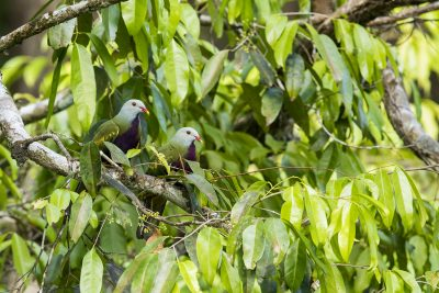 Wompoo Fruit-dove - Pair building nest (Ptilinopus magnificus)