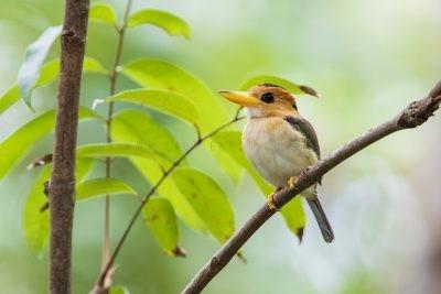 Yellow-billed Kingfisher - Female (Syma torotoro flavirostris)