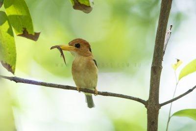 Yellow-billed Kingfisher - Male (Syma torotoro flavirostris).1