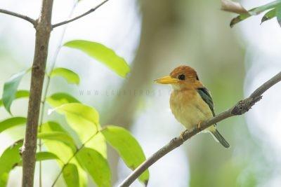 Yellow-billed Kingfisher - Male (Syma torotoro flavirostris).2