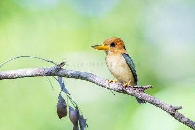 Yellow-billed Kingfisher - Male.1