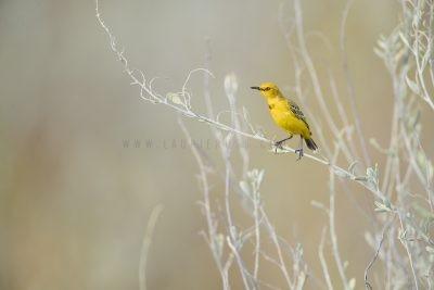 Yellow Chat (Epthianura crocea crocea)