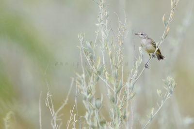 Yellow Chat - Female ((Epthianura crocea crocea)