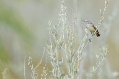 Yellow Chat - Female ((Epthianura crocea crocea)