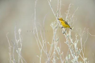 Yellow Chat - Male (Epthianura crocea crocea)