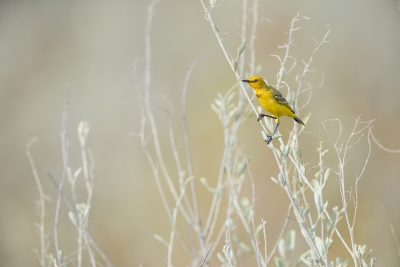 Yellow Chat - Male (Epthianura crocea crocea)