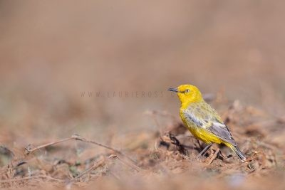 Yellow Chat - Male.2