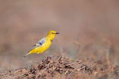 Yellow Chat - Male.4