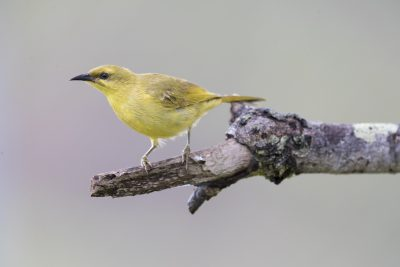 Yellow Honeyeater (Lichenostomus flavus addendus)